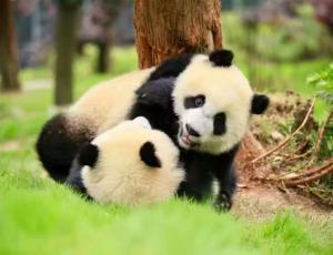 【华体会登录入口出发】熊猫基地、三星堆一华体会全站app(新纯净游)
